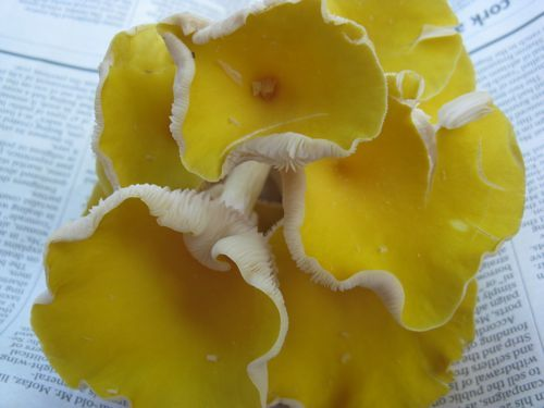 Canary_mushroom