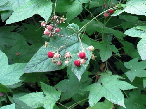 Thimble_berries_2