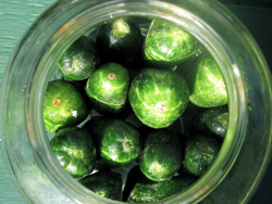 Pickling_day