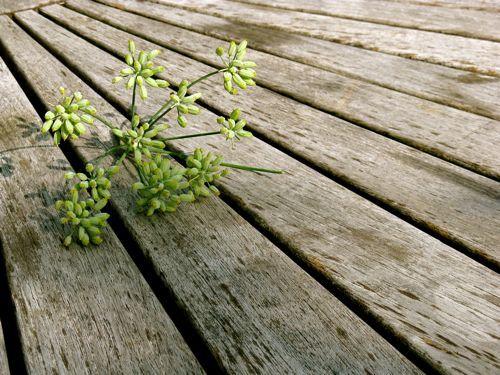 Fresh_fennel